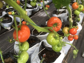 15 août 2017 - tomates2